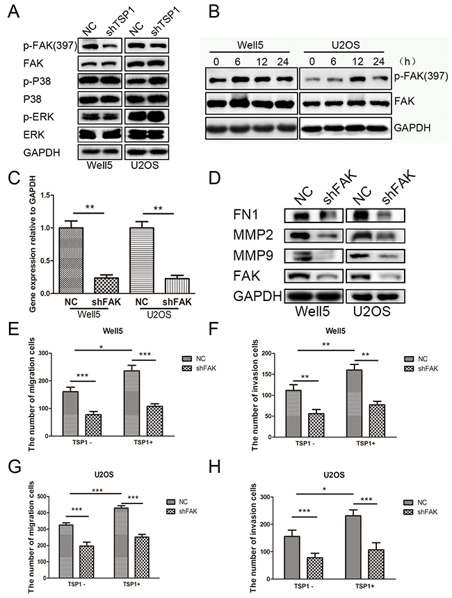 TSP1 promotes osteosarcoma cell migration and invasion through the activation of FAK pathway.