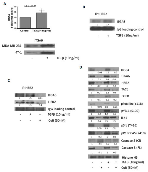 CuB inhibits TGFβ-mediated interaction of HER2 and integrin α6: (A) TGFβ treatment induces expression of integrin α6 in MDA-MB-231 and 4T-1 cells.