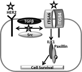 Model mechanism of CuB in breast cancer cells: HER2, an important oncogene enhances breast cancer progression.