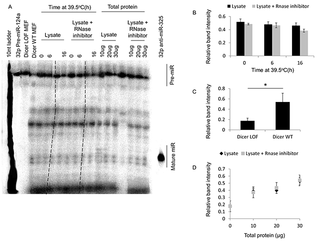 Mild hyperthermia (39.5°C) stress-induced thermotolerance does not significantly alter dicer activity in HeLa cells.