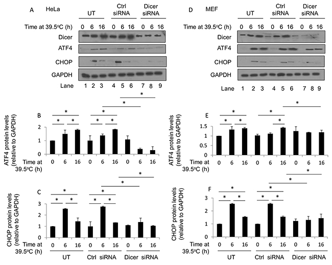 Elevated dicer protein levels observed during mild (39.5°C) hyperthermia-induced thermotolerance influence ATF4 and CHOP protein levels in HeLa and MEF cells.