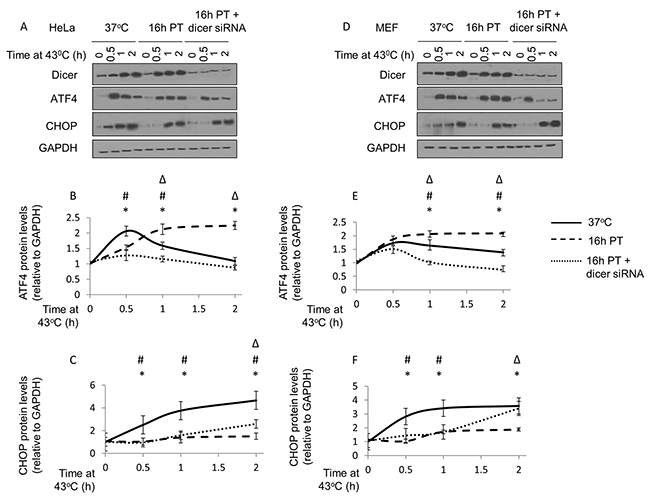 Elevated dicer protein levels observed during mild (39.5°C) hyperthermia-induced thermotolerance is associated with a pro-survival phenotype in HeLa and MEF cells.
