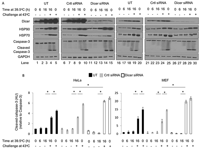 Elevated dicer protein levels observed during mild hyperthermia (39.5°C) induced thermotolerance is associated with a pro-survival outcome in HeLa and MEF cells.