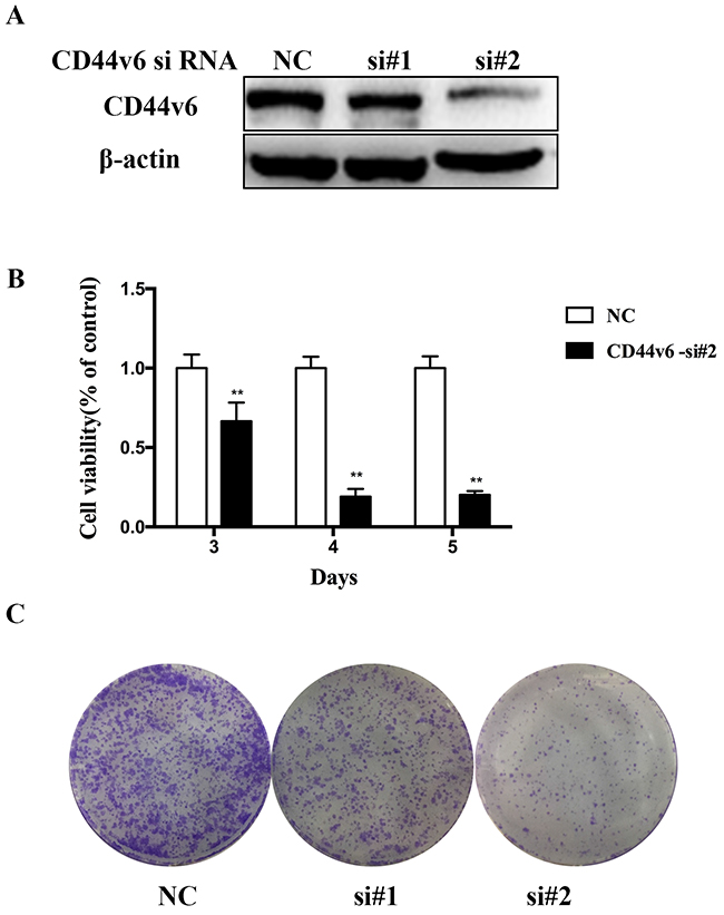 Investigation of the oncogenic functions of CD44v6.