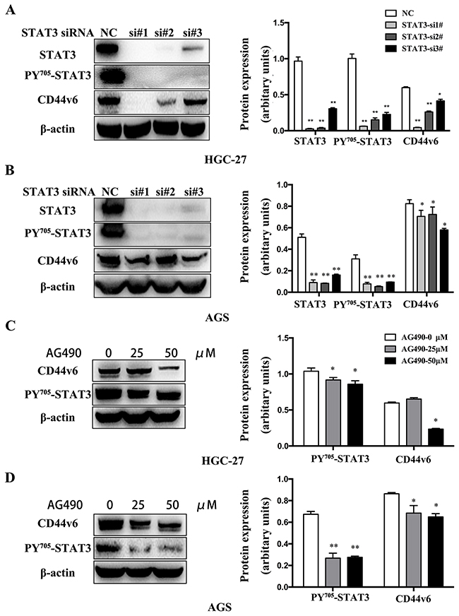 Western blot analysis of CD44v6 expression that was regulated by activation of STAT3 signaling.