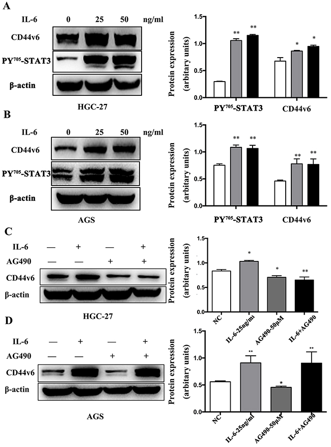 Western blot analysis of IL-6 induced CD44v6 expression through activation of STAT3 signaling.