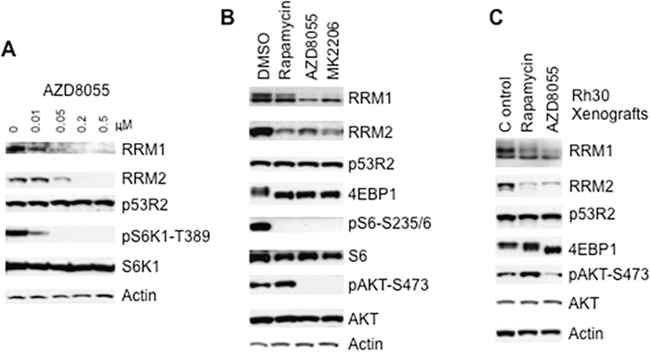 Inhibition of mTOR signaling results in decrease of RRM1 and RRM2.