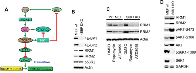 mTOR signaling increases RRM1 and RRM2 via cap-dependent protein translation.