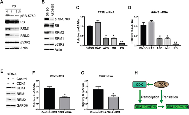 RRM1 and RRM2 are transcriptionally enhanced by mTOR and CDK4/6.