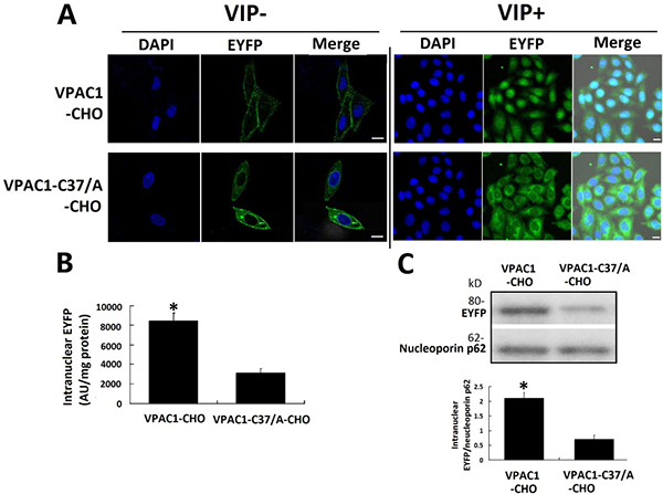 VPAC1-EYFP trans-localized into the nucleus induced by VIP.
