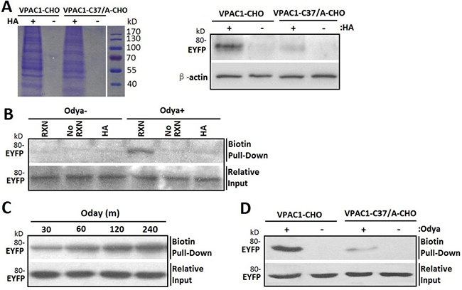 Cys37 in VPAC1 is S-palmitoylated determined by acyl-biotin exchange assay and click chemistry palmitolaytion assay.