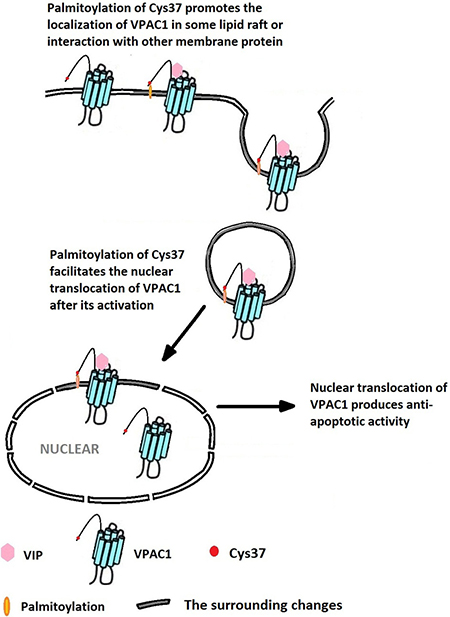 The palmitoylation of Cys37 plays a key role in the nuclear translocation of VPAC1 which is involved in the formation of the anti-apoptotic activity mediated by VPAC1 after its activation by VIP.