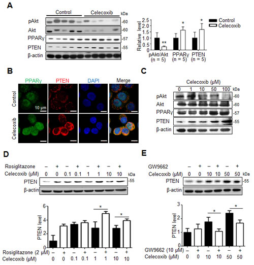 Fig 5: PPARγ/PTEN signaling contributes to celecoxib-induced Akt inhibition.