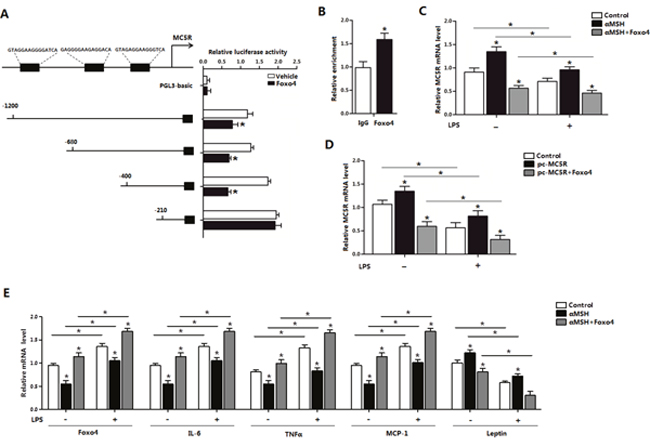 Foxo4 negatively regulate MC5R transcription in αMSH inhibited inflammation in mice adipocytes.
