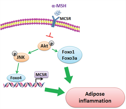 Proposed mechanism of the inhibition of αMSH on adipose inflammation.