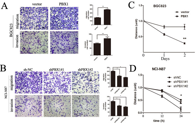 Effects of PBX1 on migration and invasion in human GC cells.