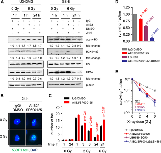Block of β1 integrin and JNK signaling enhances radiation induced DSB by chromatin modification.