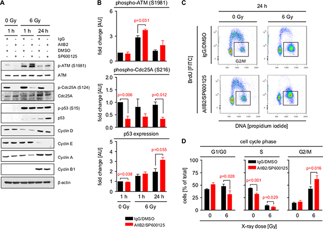 Inhibition of β1 integrin and JNK enhances G2/M cell cycle arrest.