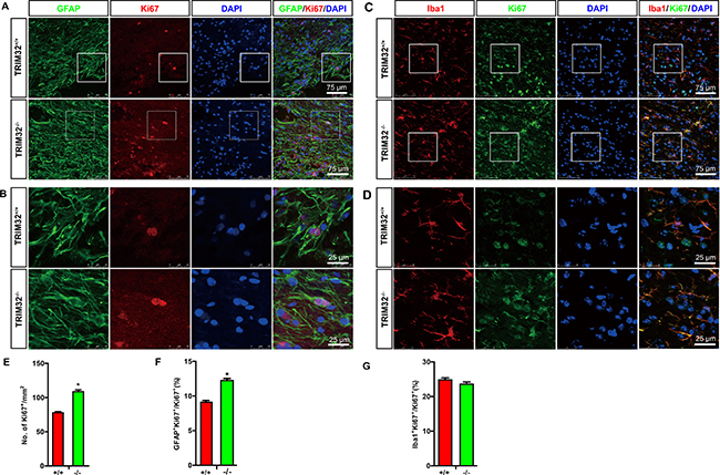 TRIM32–/– mice exhibited increased proliferation of astrocytes and microglia following spinal cord injury.
