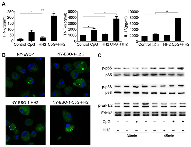 The effects of CpG-HH2 complex in vitro.