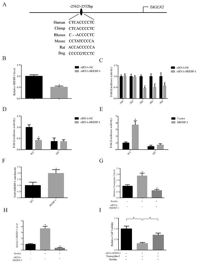 Transgelin-2 is a target gene of SREBP-1.