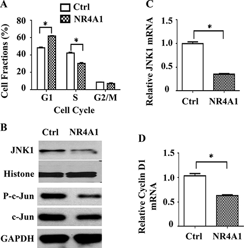 The role of NR4A1 in cell cycle regulation.