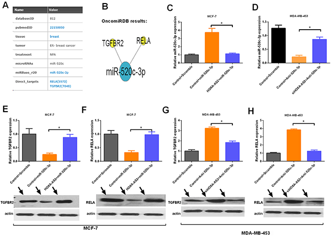HOXA-AS2 controls the expression of the targets of miR-520c-3p.