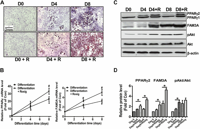 FAM3A expression was increased in differentiated 3T3-L1 preadipocytes.