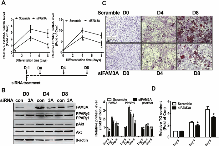 siRNA-mediated silencing of FAM3A inhibited the differentiation of 3T3-L1 preadipocytes.