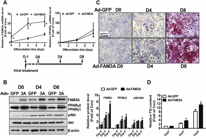 FAM3A overexpression enhanced the differentiation of 3T3-L1 preadipocytes.