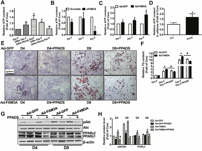Inhibition of P2 receptor blocked FAM3A-induced adipogenesis of 3T3-L1 preadipocytes.