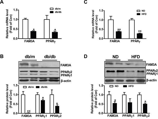 FAM3A expression was reduced in white adipose tissues of obese diabetic mice.