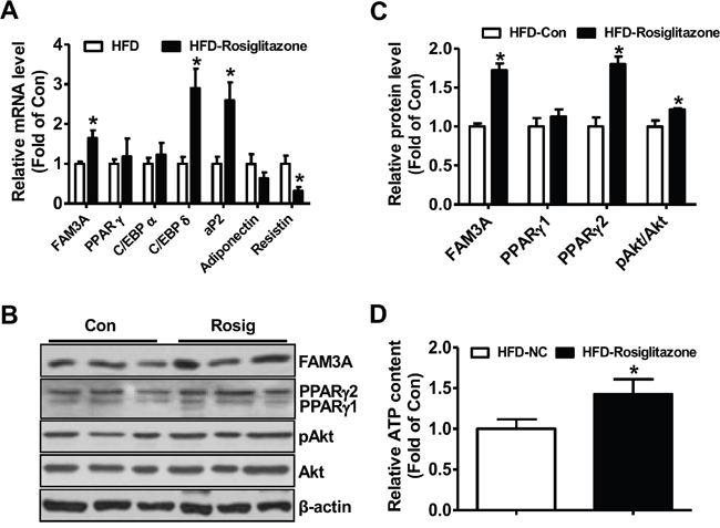 Rosiglitazone administration upregulated FAM3A expression in white adipose tissues of mice fed on HFD for 12 weeks.