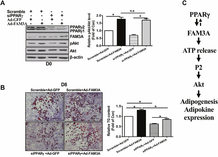 Knockdown of PPARγ failed to affect FAM3A-induced Akt activation in 3T3-L1 preadipocytes.