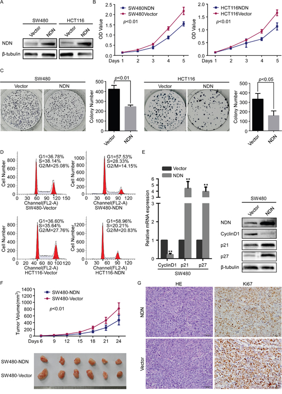 Overexpression of NDN attenuated CRC cell proliferation through cell cycle G1 arrest in vitro and reduces tumorigenesis in vivo.