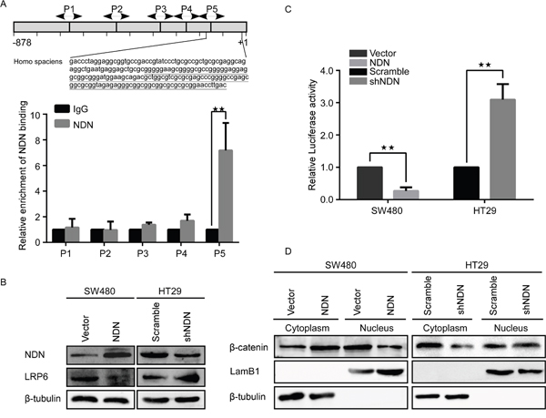NDN directly binds to the GN box in the promoter of LRP6 in CRC cells and suppresses the Wnt signaling pathway.