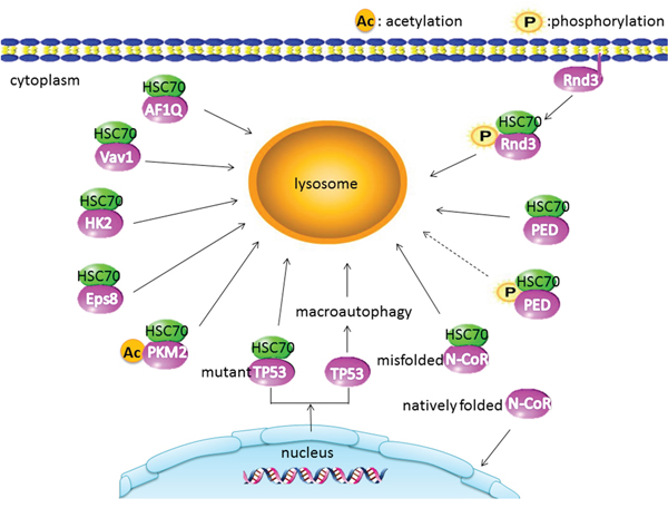CMA substrate proteins in cancer: the acetylated PKM2 displays a stronger interaction with HSC70.