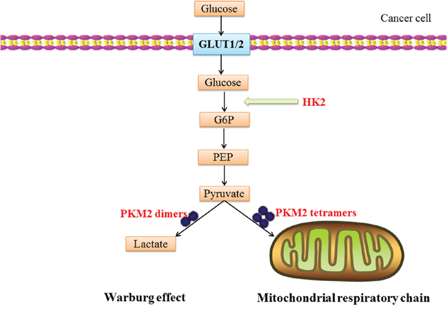 A schematic illustration of CMA substrate proteins involve in Warburg effect: glucose translocation through the plasma-membrane by glucose transporters (GLUT1/2) is rapidly phosphorylated to glucose-6-phosphate (G6P) by HK2.