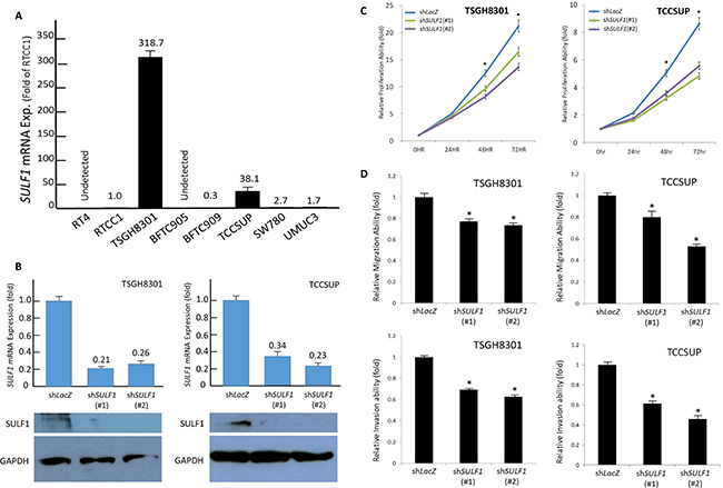SULF1 expression promotes growth of UC cells in vitro.