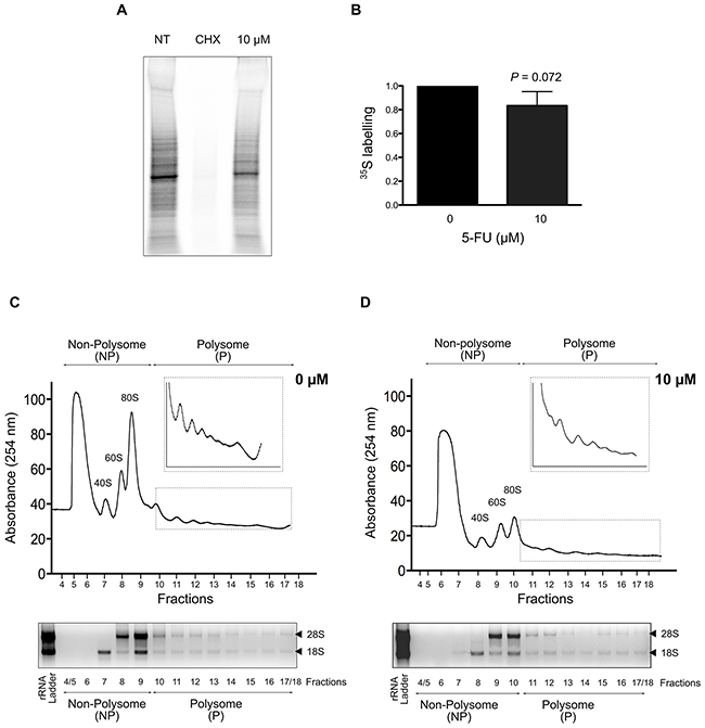 Impact of 5-FU treatment on protein synthesis in HCT-116 cells.