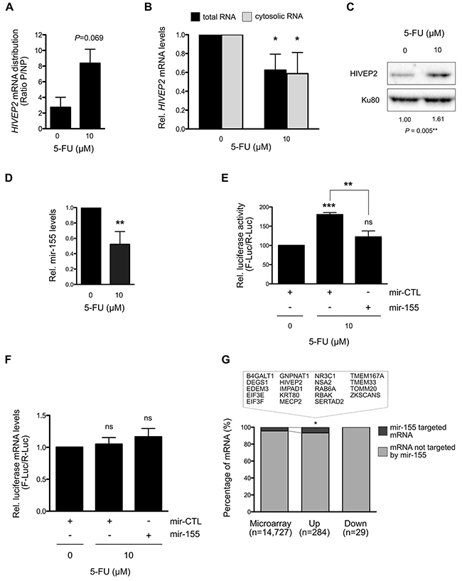 Translation regulation of HIVEP2 mRNA by mir-155 through its 3'UTR under 5-FU treatment in HCT-116 cells.