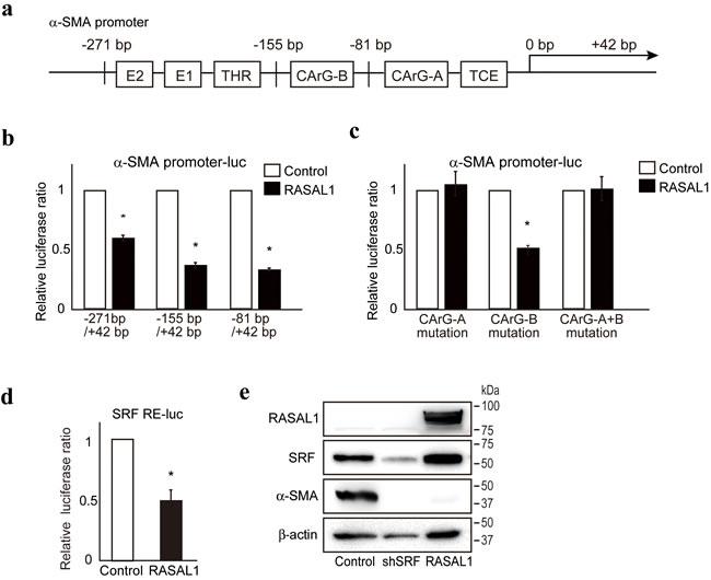 RASAL1 inhibits SRF activity.