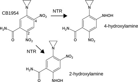 The prodrug CB1954 is a low-toxicity monofunctional DNA-alkylating agent, but can be converted to a much more toxic bifunctional DNA-alkylating agent upon 2 x 2-electron reduction of the 4-nitro or 2-nitro group to the corresponding hydroxylamine.