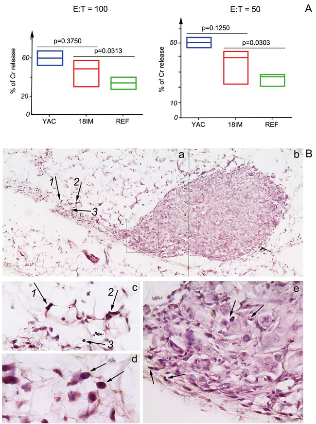 Recognition of 18IM cells by NK-cells of SCID mice
