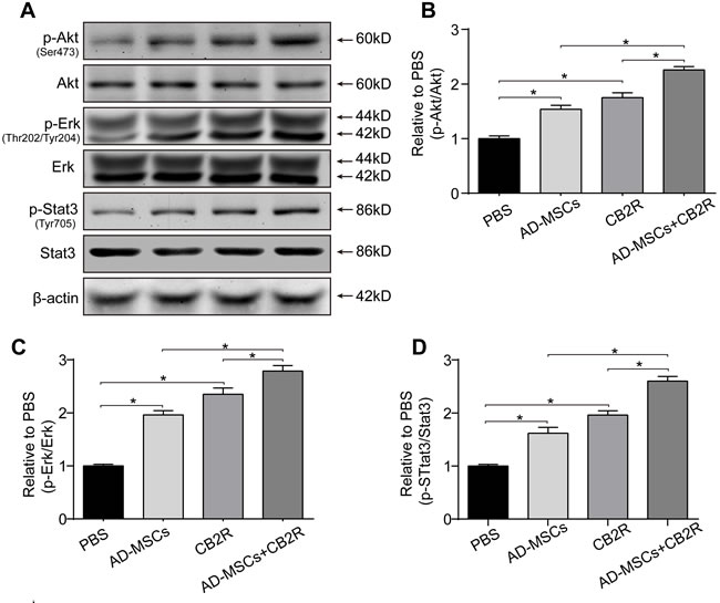 CB2 agonist adjuvant with AD-MSCs leads to myocardial activation of Stat3.