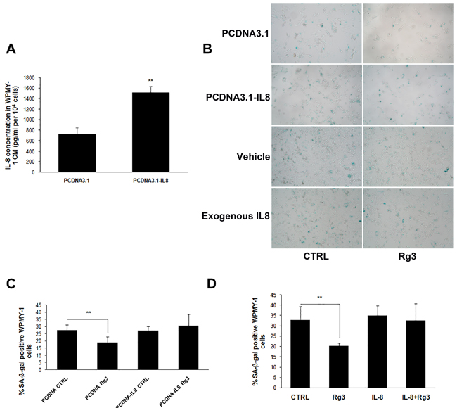 Over-expression or exogenous addition IL-8 blocked ginsenoside Rg3-inhibited prostate stromal cell senescence.