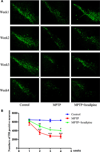 Isradipine inhibited the decrease in the numbers of TH positive neurons in the SN induced by MPTP.