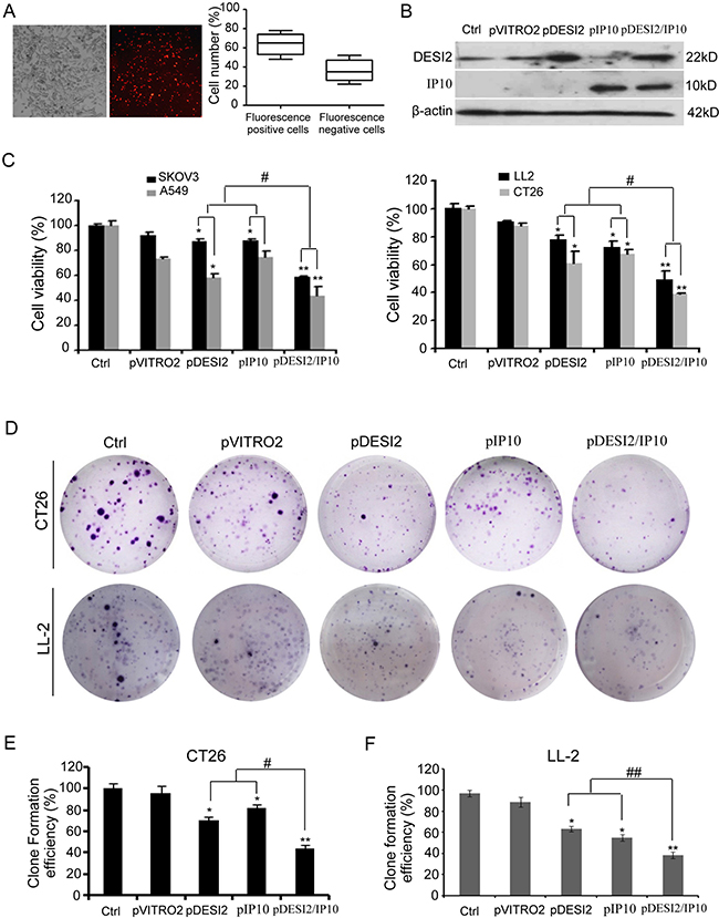Reduced viability of cancer cells in vitro by co-expression of DESI2 and IP10.