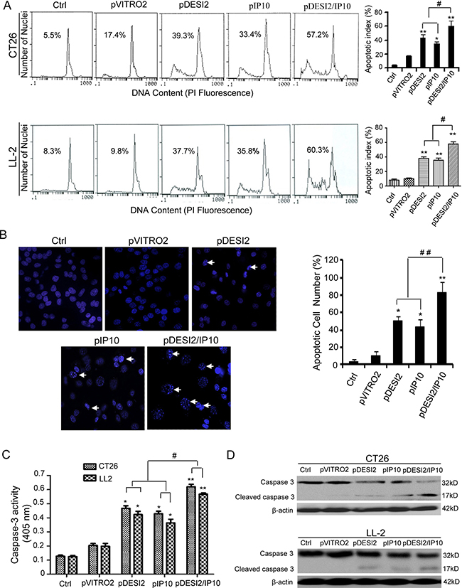 Induction of apoptosis of CT26 tumor cells in vitro by DESI2 and/or IP10.