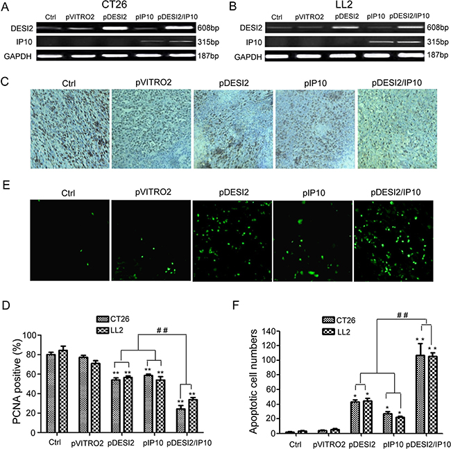 Inhibition of proliferation of tumor cells via apoptosis in vivo by DESI2 and/or IP10.